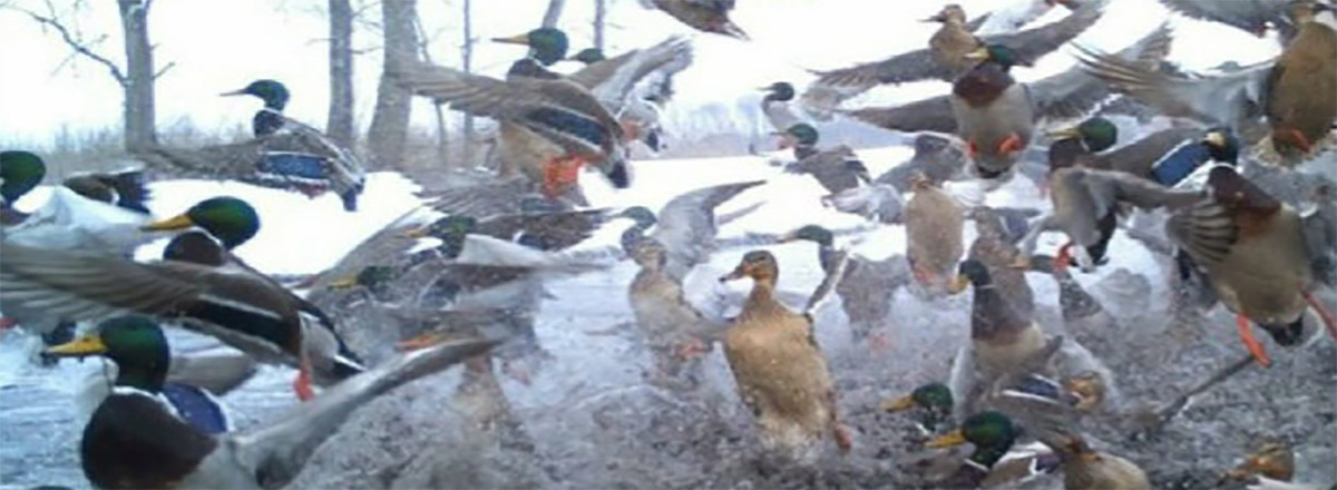 Duck & Geese Hunting features and news for the Great Outdoors